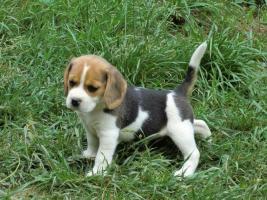 Foto 2 Beagle Welpen
