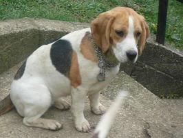Foto 3 Beagle Welpen