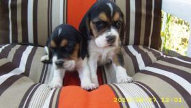 Foto 4 Beagle Welpen