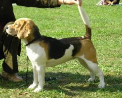 Foto 6 Beagle Welpen