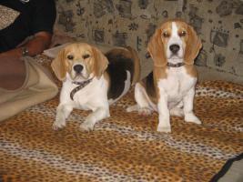 Foto 7 Beagle Welpen