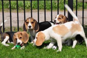 Foto 2 Beagle Welpen mit Ahnenpass