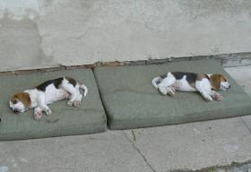 Foto 5 Beagle Welpen mit Stammbaum