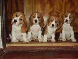 Beagle Welpen mit Stammbaum