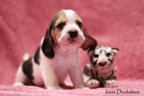 Beagle Welpen mit Stammbaum FCI