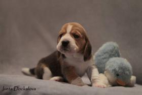 Foto 2 Beagle Welpen mit Stammbaum FCI