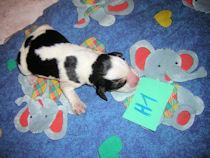 Beagle Welpen ohne Papiere