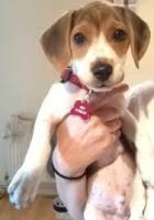 Foto 2 Beagle Welpen zu verkaufen