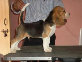 Foto 3 Beagle Welpen zu verkaufen