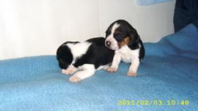 Beagle Welpen zwei süsse Mädchen