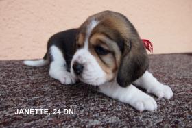 Beagle Zwinger bietet Welpen mit Papiere