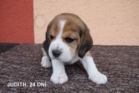 Foto 2 Beagle Zwinger bietet Welpen mit Papiere