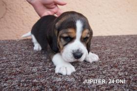 Foto 3 Beagle Zwinger bietet Welpen mit Papiere