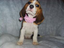 Foto 5 Beagle-u. MINI-Beagle-Babies aus Familienzucht