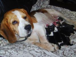 Foto 6 Beagle-u. MINI-Beagle-Babies m. Pap., geimpft, gechipt