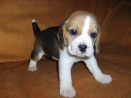 Foto 2 Beagle-u. MINI-Beagle-Babies m. Pap., geimpft, gechipt