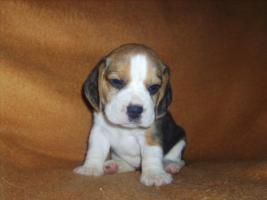 Foto 4 Beagle-u. MINI-Beagle-Babies m. Pap., geimpft, gechipt