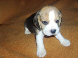 Foto 5 Beagle-u. MINI-Beagle-Babies m. Pap., geimpft, gechipt
