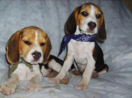 Foto 7 Beagle-u. MINI-Beagle-Babies m. Pap., geimpft, gechipt