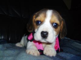 Foto 3 Beagle-u. MINI-Beagle-Babies aus seriöser Privatzucht