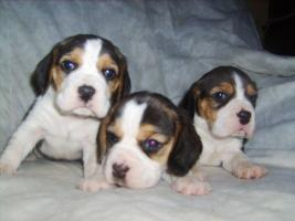 Foto 5 Beagle-u. MINI-Beagle-Babies aus seriöser Privatzucht