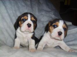 Foto 6 Beagle-u. MINI-Beagle-Babies aus seriöser Privatzucht