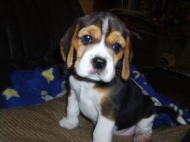Foto 8 Beagle-u. MINI-Beagle-Babies aus seriöser Privatzucht