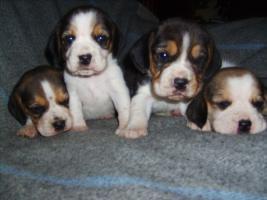 Beagle-u. MINI-Beagle-Babies aus seriöser Privatzucht