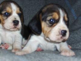 Foto 2 Beagle-u. MINI-Beagle-Babies aus seriöser Privatzucht