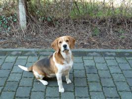 Beagle zu vergeben
