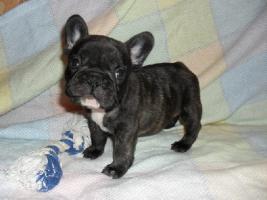 Beagle, Chow Chow, Shar Pei, Englischer Bulldog, Französischer Bulldog Welpen zu verkaufen