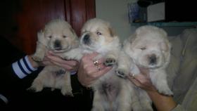 Foto 2 Beagle, Chow Chow, Shar Pei, Englischer Bulldog, Französischer Bulldog Welpen zu verkaufen