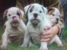 Foto 3 Beagle, Chow Chow, Shar Pei, Englischer Bulldog, Französischer Bulldog Welpen zu verkaufen