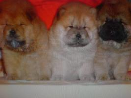 Foto 4 Beagle, Chow Chow, Shar Pei, Englischer Bulldog, Französischer Bulldog Welpen zu verkaufen