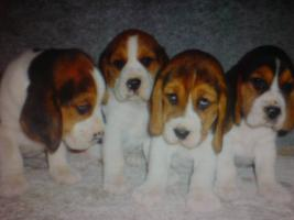 Foto 5 Beagle, Chow Chow, Shar Pei, Englischer Bulldog, Französischer Bulldog Welpen zu verkaufen