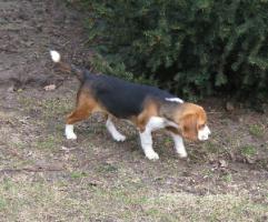 Beaglejunghündin mit Papieren sofoft abzugeben