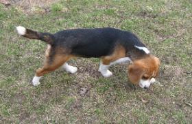 Foto 4 Beaglejungh�ndin mit Papieren sofoft abzugeben
