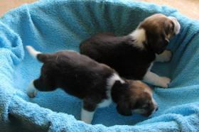 Foto 2 Beaglewelpen mit Papieren abzugeben