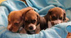 Foto 3 Beaglewelpen mit Papieren abzugeben