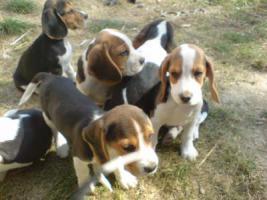 Beaglewelpen www.beagle-sachsen.de