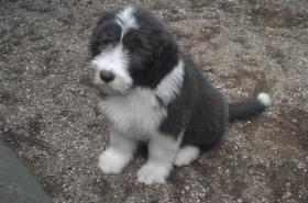 Foto 2 Bearded Collie Welpen