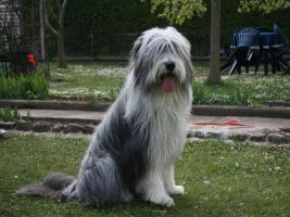 Foto 5 Bearded Collie Welpen