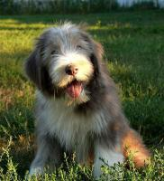 Bearded Collie Welpen ab sofort zur Abgabe