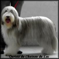 Foto 5 Bearded Collie - Welpen