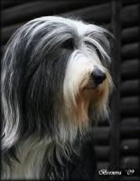 Foto 6 Bearded Collie - Welpen
