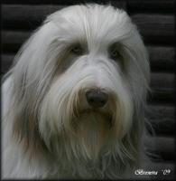 Foto 7 Bearded Collie - Welpen