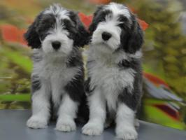 Bearded Collie, ein faible f�rs Besondere
