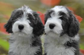 Foto 2 Bearded Collie, ein faible f�rs Besondere