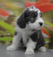 Foto 4 Bearded Collie, ein faible f�rs Besondere