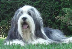 Foto 5 Bearded Collie, ein faible f�rs Besondere